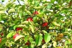 Bild: Obstbäume in Deutschland